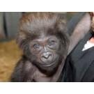 Gladys, cea mai rasfatata gorila din lume!