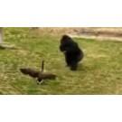 Gorila versus gasca!