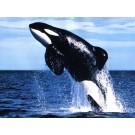 In lume exista mai multe tipuri de balene ucigase