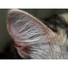 Infectiile urechilor la pisici