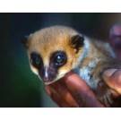 Lemurianul pitic Lavasoa, o noua specie descoperita