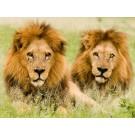 Leul, amenintat cu disparitia!