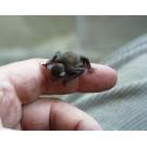 Liliacul-bondar, cel mai mic liliac din lume!