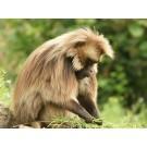 Maimuta Gelada, prima maimuta vorbitoare?