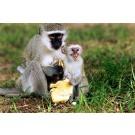 Maimutele salbatice mananca ceea ce consuma si cele localnice