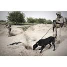 Marea Britanie foloseste caini pentru a detecta bombele din Afghanistan