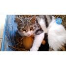 O pisica are grija de pui de rata!