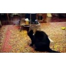 O pisica neastamparata este pusa la punct de o hermina!