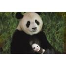 O ursoaica panda isi iubeste cu adevarat puiul!