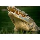 Oamenii vor avea dinti de aligator!