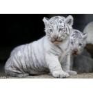 Patru pui de tigru alb si-au facut debutul la Gradina Zoologica din Tokyo
