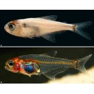 Pestele ''invizibil'' a fost descoperit in apele fluviului Rio Negro din Brazilia