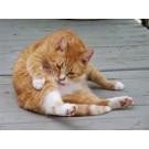 Pisica ta se scarpina in exces? Vezi care este problema