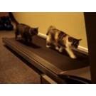 Pisici pe banda de alergat!