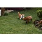 Pisici versus vulpe!