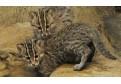 Pisicile salbatice invata sa prinda peste!