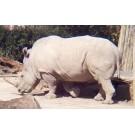 Pui de rinocer alb, nascut la o gradina zoologica din Australia!