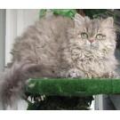 Rasa de pisici Selkirk Rex, recunoscuta oficial de oamenii de stiinta