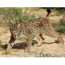 Rasul iberic, o specie amenintata cu disparitia