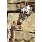 S-a nascut o noua girafa la Zoo Dublin