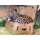 Si pisicile mari adora cutiile!