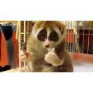 Simpaticul lemur mananca orez