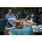 Tigrii de la Gradina Zoologica din Israel, vindecati prin acupunctura!