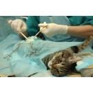 Tot ce trebuie sa stii despre castrarea pisicilor