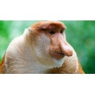 Tu ce stii despre maimuta Proboscis?
