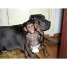 Uimitor! Un mastiff a adoptat un cimpanzeu