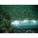 Un animal marin ciudat a fost filmat la o adancime de peste 100 metri