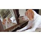 Un caine este obsedat de propria reflectie in oglinda!