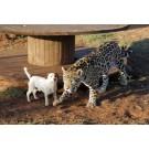 Un caine si un jaguar sunt cei mai buni prieteni!