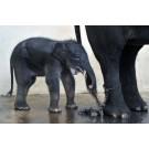 Un pui de elefant de Sumatra s-a nascut in captivitate!