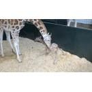 Un pui de girafa face primii pasi in lume!