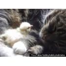 Un puisor de gaina adoarme pe pisica!
