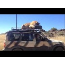 Un tigru adoarme pe acoperisul unei masini!