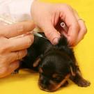 Vaccinul Bordetella pentru caini si pisici