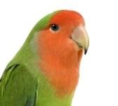 agapornis-profil-reproducere