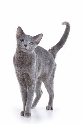 albastra-de-rusia-pisica-blanda