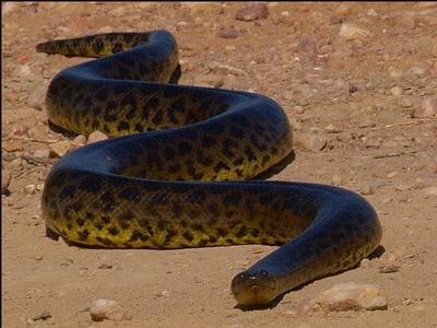 anaconda-sarpe-semi-acvatic