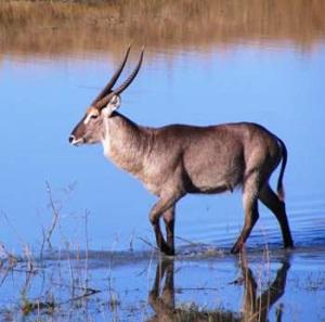 antilopa-de-apa-pajistile