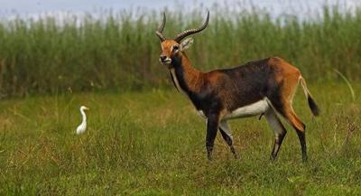 antilopa-kobus-leche-iarba
