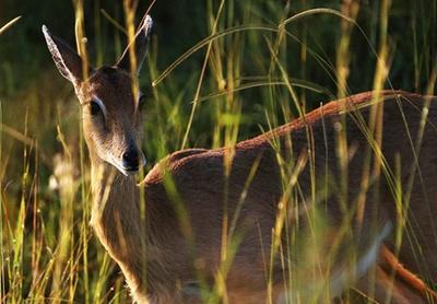 antilopa-oribi-poze-iarba
