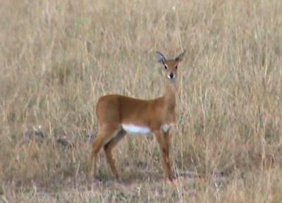 antilopa-oribi-blana-matasoasaa