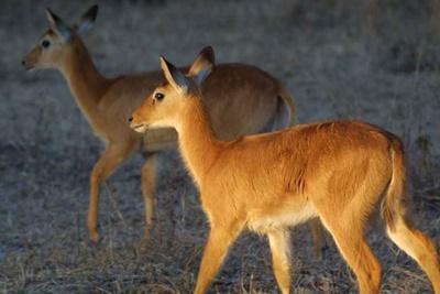 antilopa-pukupuku-proteine