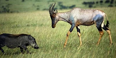 antilopa-sasabi-damaliscus-lunatus-blana