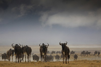 antilope-gnu-animal-rapid