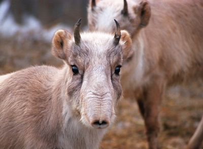 antilope-saiga-specie-poligama