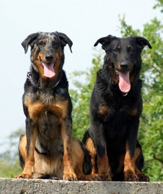 beauceron-arlechin-displazia-de-sold